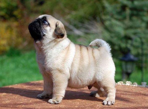 19 Cachorros pug tan ridículamente tiernos que te vas a querer morir de...