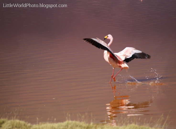 James flamingo. Laguna Colorada, Bolivia