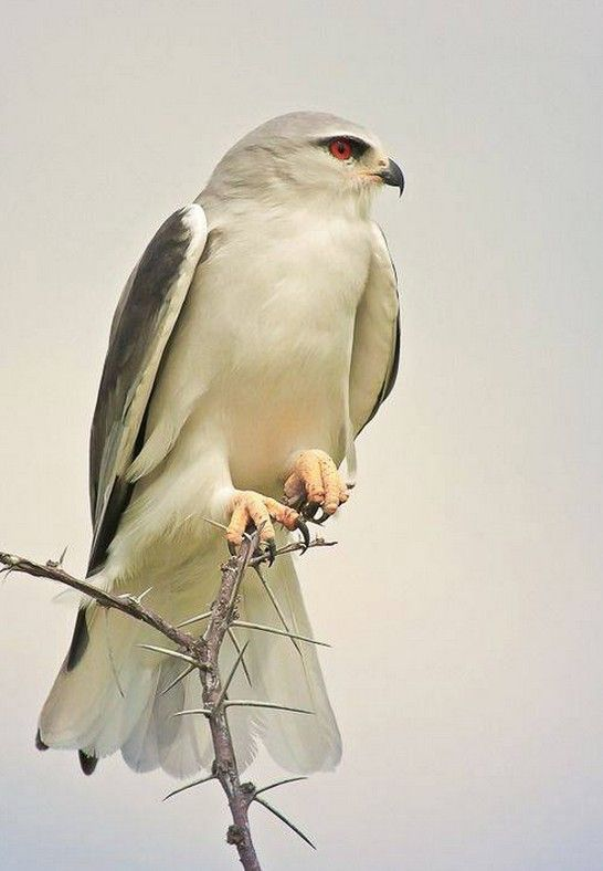 "Black-shouldered Kite ~ Miks' Pics ""Fowl Feathered Friends lV"" board @ http://www.pinterest.com/msmgish/fowl-feathered-friends-lv/"