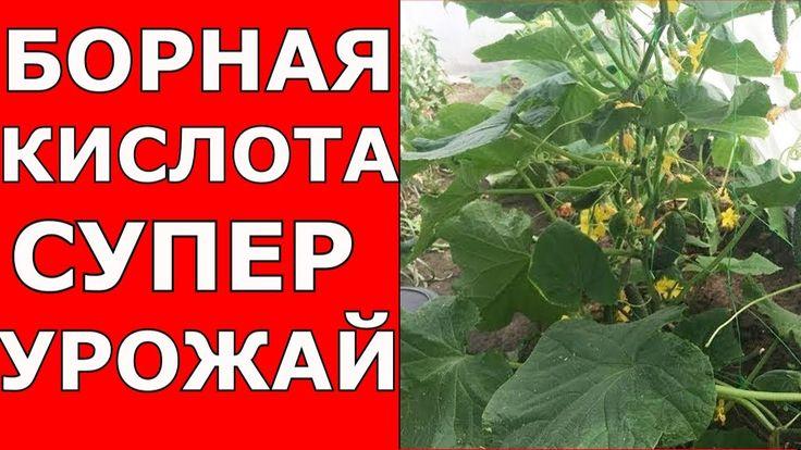 Борная Кислота - лучший эффект для урожая!!! Помидоры, огурцы, баклажан,...