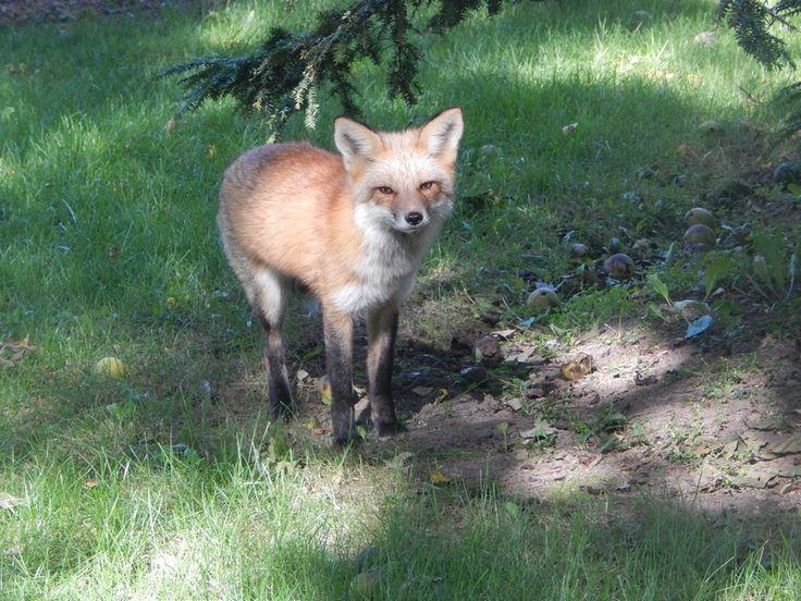 Renard roux; Red fox; Zorro; Rubah merah.  Vulpes vulpes crucigera