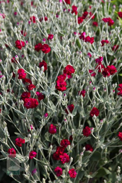 in the big bed. Buy rose campion Lychnis coronaria 'Gardeners' World ('Blych')': Delivery by Crocus