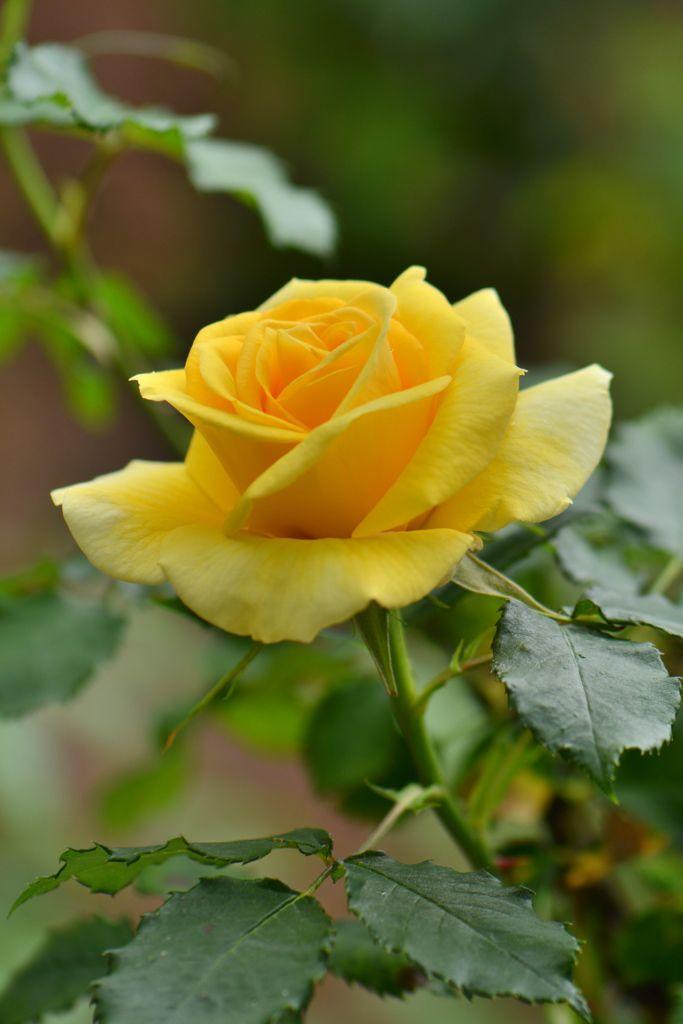Rose by タムゴン