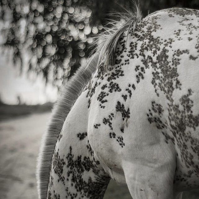 Most fascinating pattern of a horse I've seen- and I've researched a lot! A MOST POPULAR RE-PIN. #DdO:) - https://www.pinterest.com/DianaDeeOsborne/gorgeous-horses-more/ - GORGEOUS HORSES AND MORE: You really need to enlarge this black & white photo to examine the intricate patterns. At first, I though the horse's coat had been painted as is often done for parades, like tattoos of willow tree leaves. Great pic pinned via Sara Parker's EQUINE #Pinterest board. SOURCE: Flickr