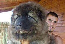 19 photos de chiens énormes qui prennent beaucoup trop de place !