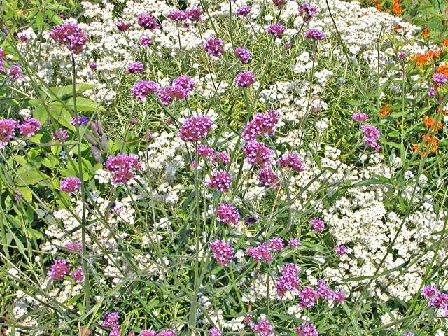10 Tall Annual Flowers for Impact in the Garden: Tall Annual Flowers - Verbena bonariensis
