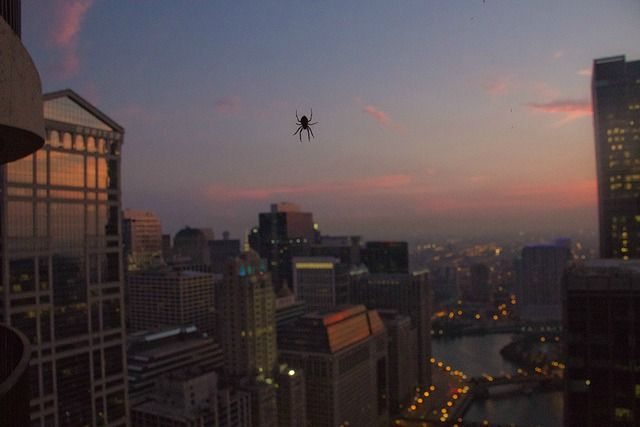 In Pictures: Spiders Love Chicago's Skyscrapers: Chicagoist