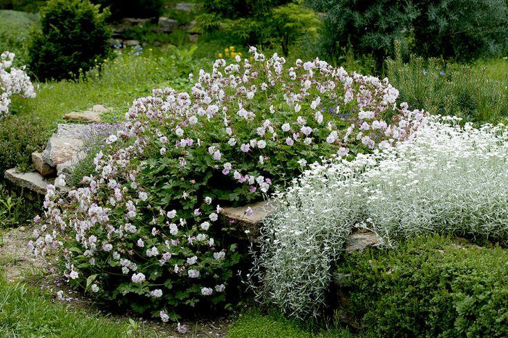 Ясколка войлочная (Cerastium tomentosum)  и герань гибридная  (Geranium x cantabrigiense 'Biokova') Засухоустойчивые растения