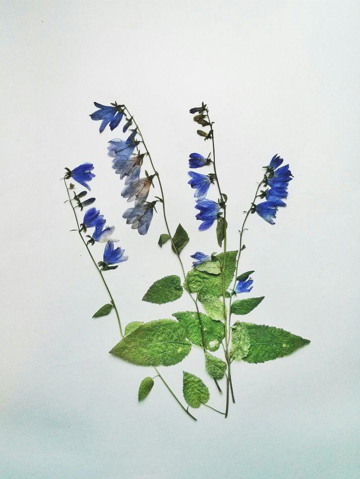 Колокольчик/ Campanula  #herbarium #гербарий #ботаника #botanic #сухоцветы #driedflowers #pressedflowers #decor #декор