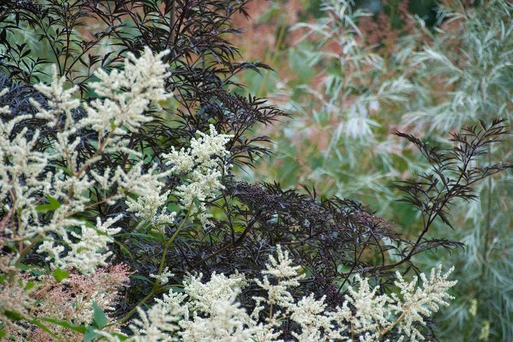 lovely planting combo - Guernsey — Dan Pearson Studio - aruncus kneffei & sambucus 'Black Lace'