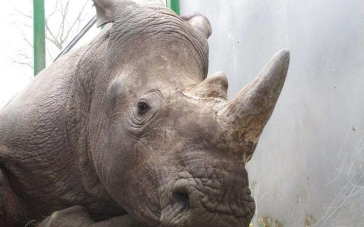On the night of March 6, 2017, poachers broke into the Thoiry Zoo in France, shot and killed a four-year-old white rhino, and then hacked off his horn to sell on the black market