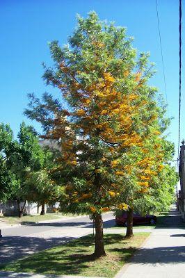 Grevillia Robusta | Tree Identification: Grevillea robusta - Silk Oak
