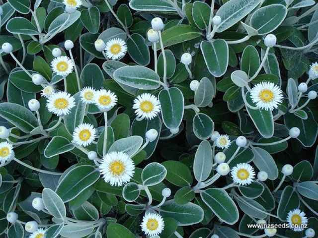 Google Image Result for http://www.nzseeds.co.nz/uploads/Shoppingcart/Pachystegia%2520insignis1.jpg