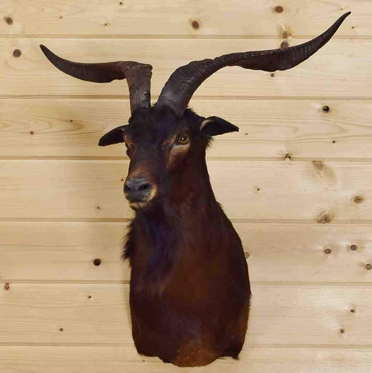 Goat Taxidermy Mount for Sale
