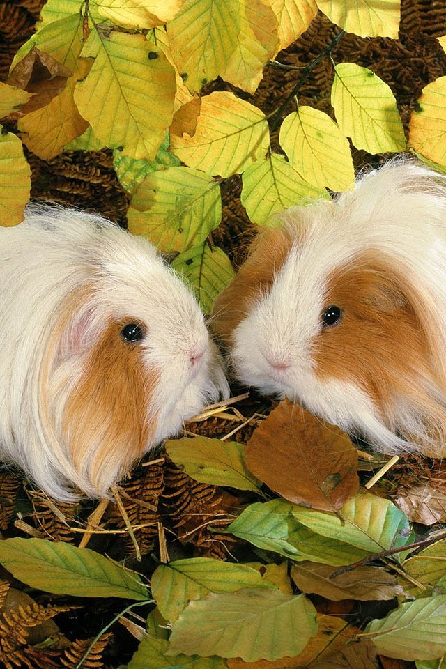 Long haired guinea pig - photo#53