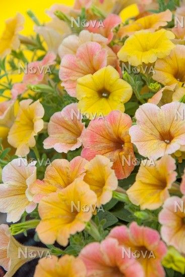 Petunia potunia plus yellow dresses