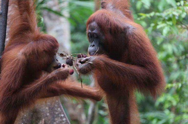 La selva tropical de Sungai Putri, uno de los últimos refugios para los orangutanes de la isla de Borneo. Más de mil orangutanes viven en los bosques pantanosos al oeste. Su supervivencia está en peligro: una empresa pretende establecer plantaciones de madera para la industria papelera. ¡El presidente de Indonesia debe intervenir ya!