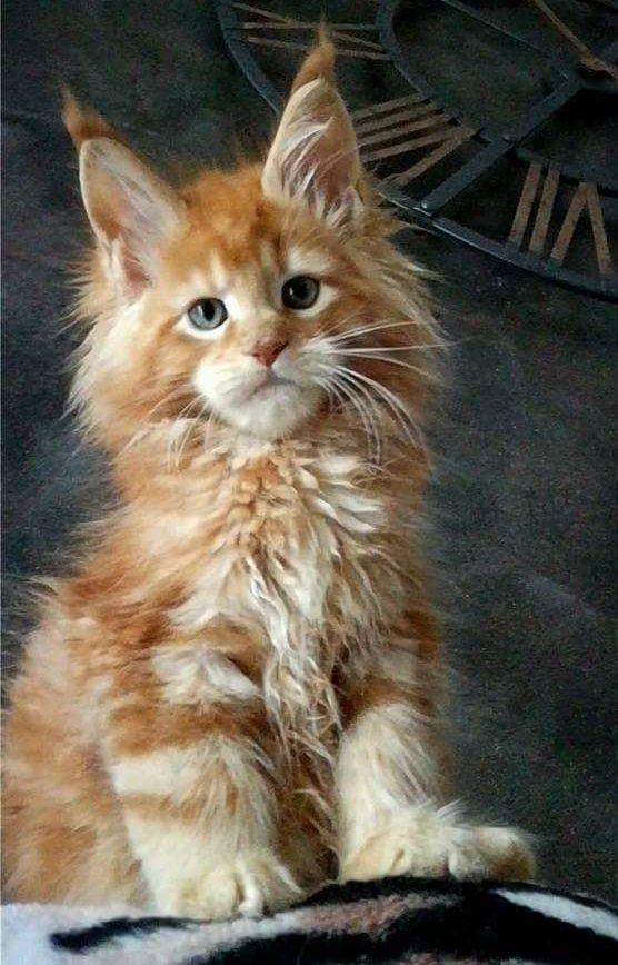 Best 25 Maine coon kittens ideas on Pinterest Maine