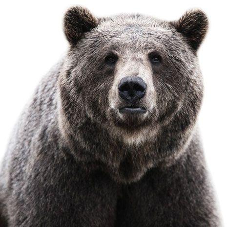 Design work life » cataloging inspiration daily - via http://bit.ly/epinner: Bears Hug, Animal Photography, Morten Koldbi, Teddy Bears, Bruins, Big Bears, Brown Bears, Animal Portraits, Grizzly Bears