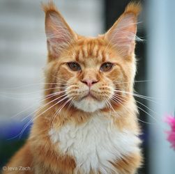Maine Coon, Red Solid & White (d 09). Amor Amor Salta Nosis*LT