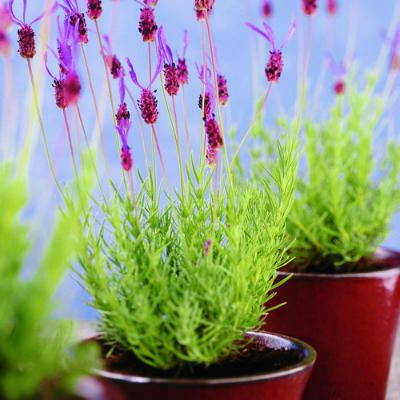 Dwarf lavenders, which stay under 2 feet tall, are compact alternatives to the common varieties that can grow to 4 feet or taller. They're particularly suitable for small beds, border edgings, even containers.