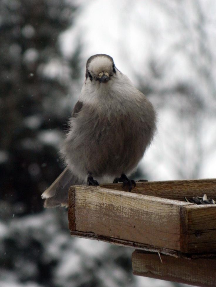 Gray Jay, Kenora, Ontario, Canada