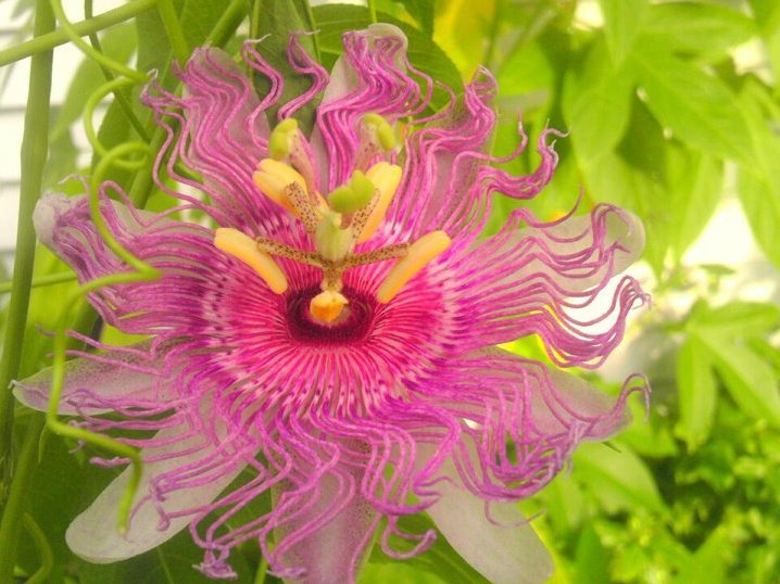 Flower of the Day: Purple Passion... so many blooms!  I love this flower... so delicate - looks like lace, and hummingbirds love them! 6/6/12 dmr