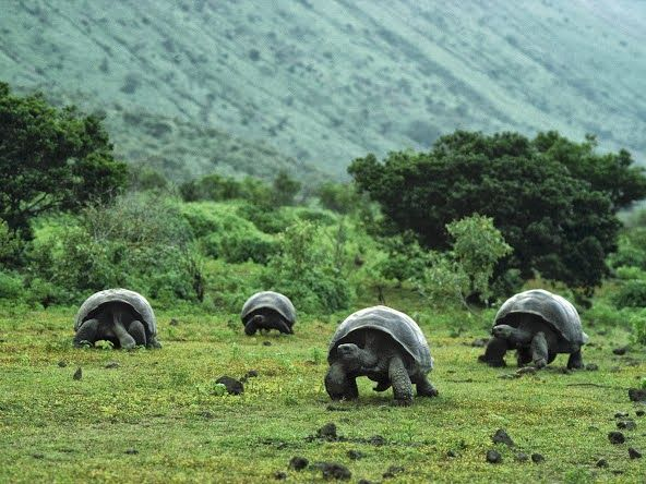 Wander around with Giant Galapagos Tortoises