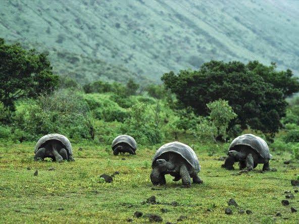 Wander around with Giant Galapagos Tortoises