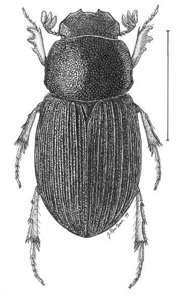 Aphodius.robinsoni.jpg (377×600)