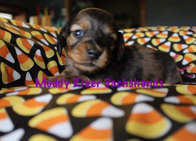 Black And Tan Longhair Dapple Dachshund Dachshund Puppies