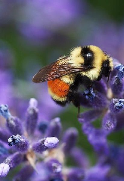 "How doth the little busy bee Improve each shining hour, And gather honey all the day From every opening flower! ~Isaac Watts, ""Divine Songs"""