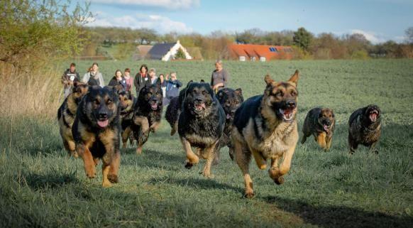 Schaferhunde Als Meute Beim Rennen Schaferhunde Hunde Schaferhund Welpen