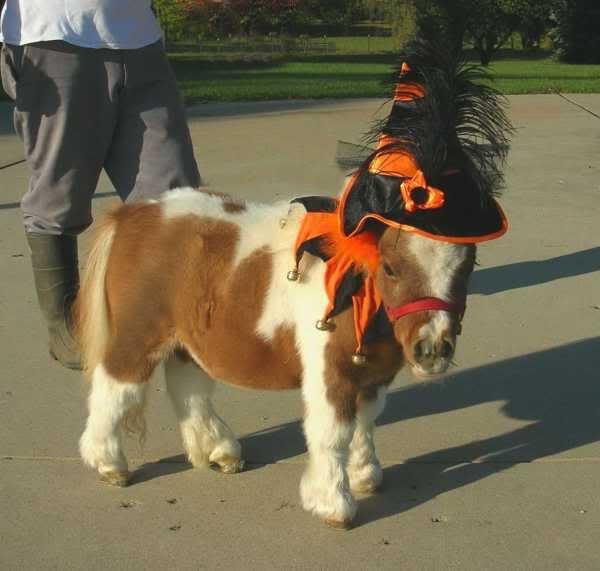 Tiny Horses in Halloween costumes - Photo 5/8   Mini Horse Costume