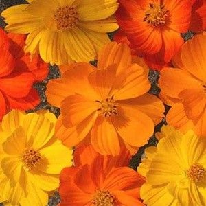 Bright Light cosmos seeds - Garden Seeds - Annual Flower Seeds (cosmos seeds are very easy to grow)