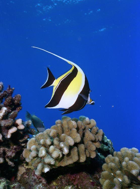 Moorish Idol (fish) on a reef in Hawaii.  Saw some of these in Oahu, Maui and the Big Island.