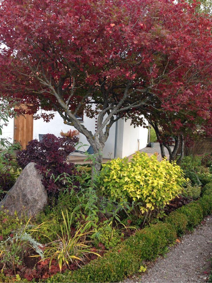 Perukbuske, olvon och gulbladig smällspirea.