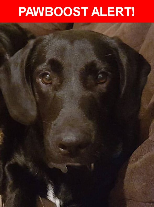 Please spread the word! Buck was last seen in Patterson, LA 70392.  Description: neutered and friendly black fur with white patch on chest he is a lab beagle mix please help us thank you   Nearest Address: Patterson, LA, United States
