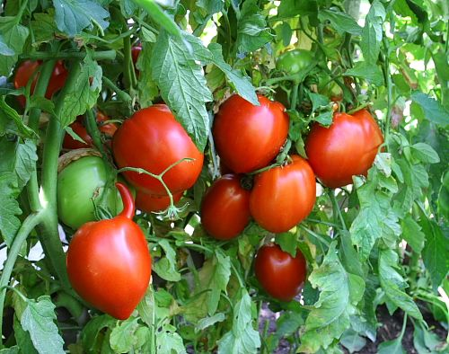 Grandma always grew tomatoes, mainly for eating during the summer, but she also canned the rest for those long winter months!