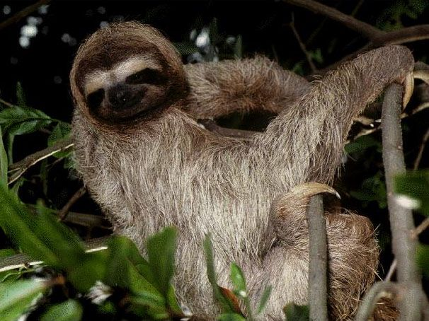 Types of Sloths in the Rainforest