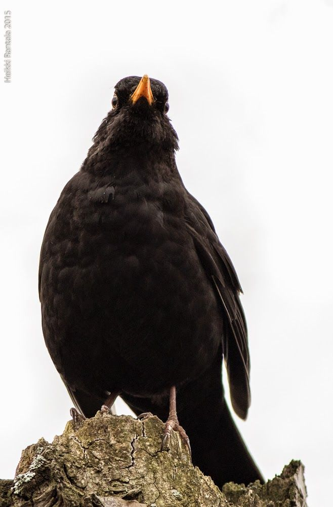 Blackbird, by Heikki Rantala