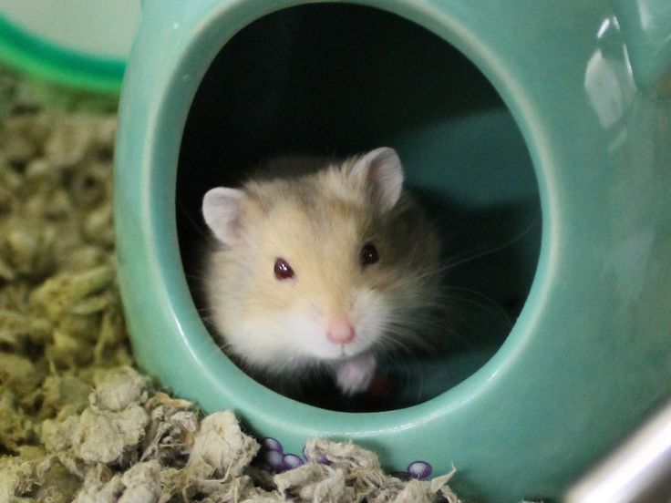 Animal Care & Control San Francisco has 8 fun and friendly dwarf hamsters available for adoption. These 6 males -- Hamilton, Ulysses, Franklin, Calvin, Gerald, & Azog -- and 2 females -- Madison & Reagan are easy to handle and adorable. Elect these sweeties to be your new BFFs.
