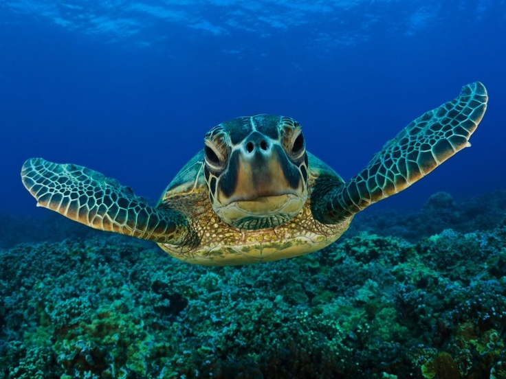 Happy World Turtle Day, from La Paz, Baja California Sur, Mexico. Picture from https://www.facebook.com/vivalapazUnderwater Photos, Sea Creatures, Seaturtle, Green, Google Search, Marines, Underwater Photography, Animal Wallpapers, Sea Turtles