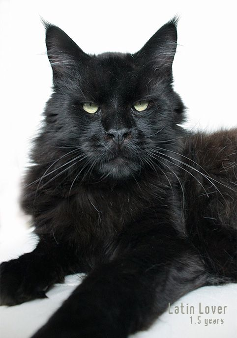 #MaineCoon #Black #Solid #Cats Mainefield´s Latin Lover