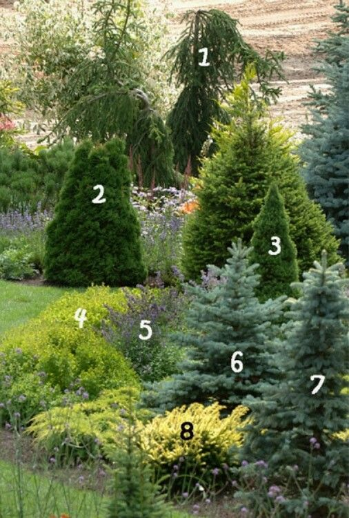 1. Spruce 'Frohburg' 5. Catnip of fassina 'Walkers Low' 2. Thuja occidentalis 'Dumosa' 6. Blue spruce 'Glauca Compacta' 3. Canadian spruce 'Conica' 7. Blue spruce 'Maigold' 4. Oregano 'Thumbles' 8. Yew 'Washingtonii'