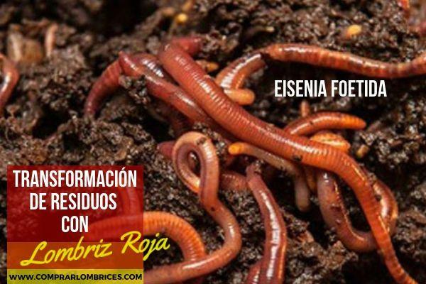 Comprar Lombrices Rojas Californianas Eisenia Foetida En España Lombriz Roja Californiana Lombriz Lombrices Californianas Lombricomposta