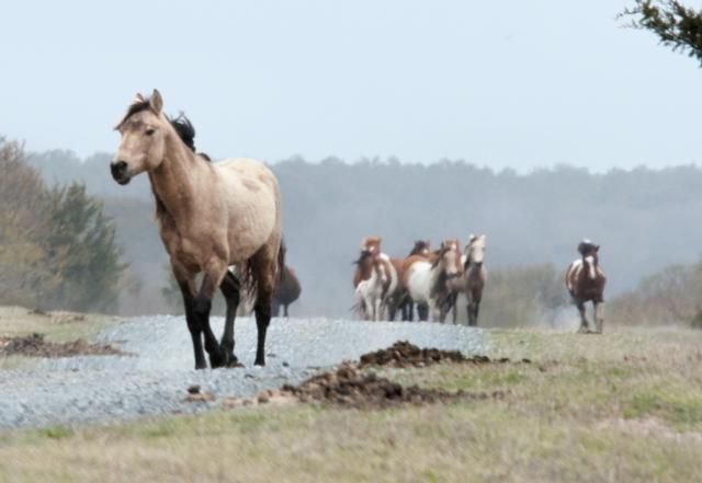 10 Fun Things to Do on Chincoteague Island with Kids | About.com Family Vacations