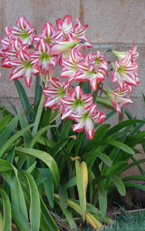 Amaryllis forced for Christmas can be planted outdoors in the spring.