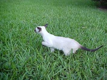 Petland Florida Has Tonkinese Kittens For Sale Interested In