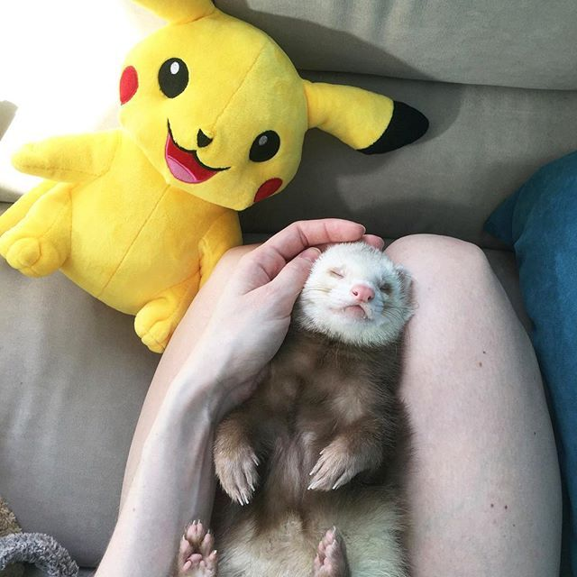 Hey! What plans for the weekend? Shush and Kurt are going to sleep and eat... maybe play a little bit  #pikachu #ferret #ferrets #weekend #lazy #lazyweekend #tattoo #tattooed #tattoogirl #myday #igerskiev #huron #frettchen #furet #ferretism #cute #instagood #instadaily #pet #pets #хорь #хорек #зверь #покемон #выходные